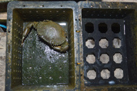 soft-shelled crab fishing