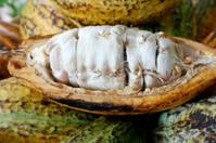 closeup of Cacao fruits