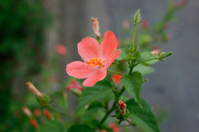 Hibiscus Flower with blurred background