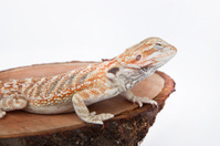 Bearded Dragon on the wood with white background