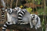 Three ring-tailed lemurs sitting on a log