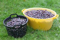 Zwetschke plums harvesting