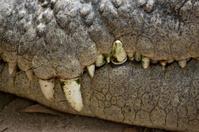 Crocodile - teeth