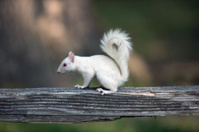 White squirrel on wooden railing