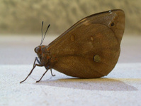 ButterFly / Moth (Borboleta / Mariposa)