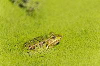 Frog , Rana esculenta