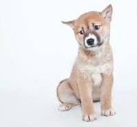 Shiba Inu stock photos - FreeImages.com
