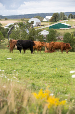Cattle and farmland