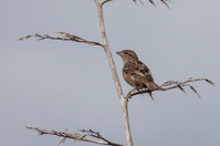 house sparrow in tree
