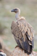 Griffon vulture standing on a rock.