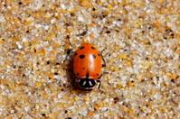 Ladybug on the Sand