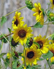 Multiple Common Sunflowers