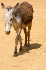 Grey donkey in Colombia