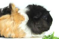Orange / ginger, black, white short-hair abyssinian guinea pig /