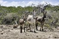 Donkey family Bonaire