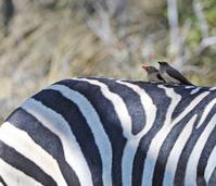 Striped pair, Botswana
