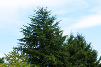 Fir tree in summer sky