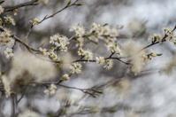 Damson blossoms