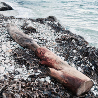 dead tree trunk washed ashore
