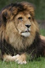 Old big lion