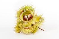 Sweet chestnut fruit