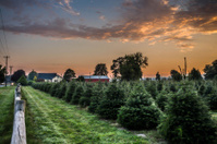 Christmas tree farm in morning sunrise