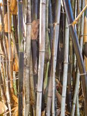 Bamboo growing in Queensland