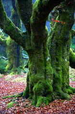 Alte Bäume im Wald