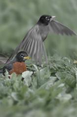 robin imagining flight b