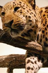 leopard relaxing on a tree