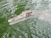 Crocodile in a river