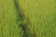 Green Grass / Rice Fields In Vietnam