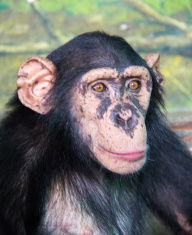 Face of Chimpanzee