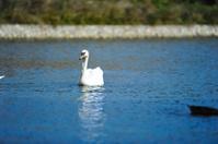 Beautiful young swan in lake