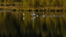 Whooper swan family flying in autumn sunset