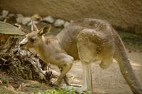 Kangaroo 5