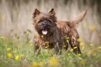 Brown Cairn Terrier Dog