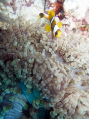 Clown Fish near Anemone