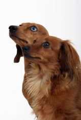 dachshund portrait