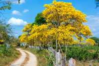 Yellow Guayacan Tree