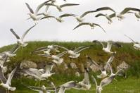 Seagulls, Faroe Islands