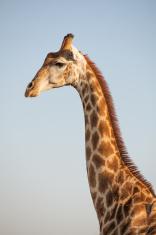 Giraffe South-Africa