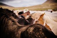 Icelandic Pony market