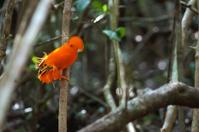 Guianan Cock-of-the-rock, wonderful bird in Brazil