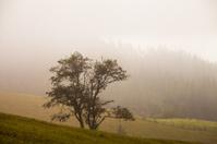 Misty beech forest