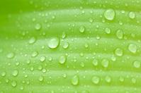 Rain on banana leaves