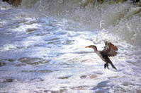 Cormorant Hunting