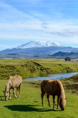 Icelandic Horses in front of volcano
