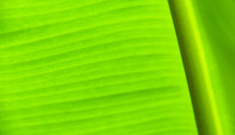Green banana leaves texture