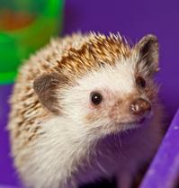Four-toed hedgehog portait